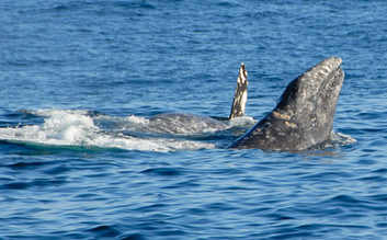 Snorkel  and  Whale Watching Tour from Ma'alaea